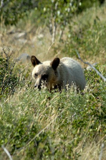 blog TAKE 92 Canada, Bear, Waterton NP, Cameron Lake 2_26749-8.2.07.jpg