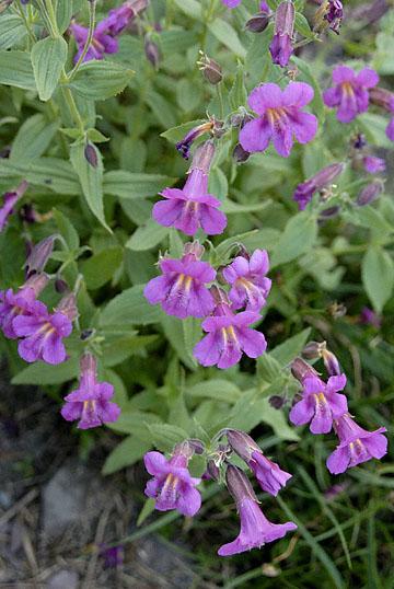 blog TAKE 92 Glacier NP, Logan Pass, (Hidden Lake Nature Trail, Lewis' Monkey flower_26809-8.2.07.jpg