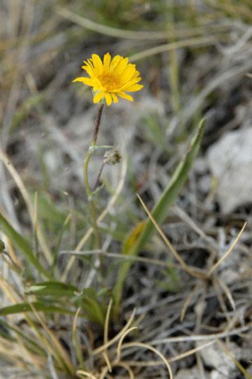 blog TAKE 94 Yellowstone NP, Firehole Lake, Sunflower Family 2_27038-8.4.07.jpg