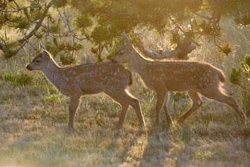 blog 135 Mendocino, Twin Deer babies, CA_DSC4818-6.24.16.jpg