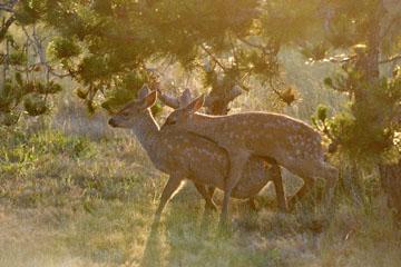 blog 135 Mendocino, Twin Deer babies, CA_DSC4817-6.24.16.jpg