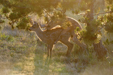 blog 135 Mendocino, Twin Deer babies, CA_DSC4816-6.24.16.jpg