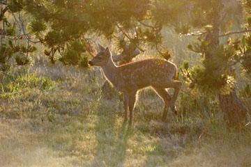 blog 135 Mendocino, Twin Deer babies, CA_DSC4814-6.24.16.jpg