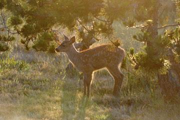 blog 135 Mendocino, Twin Deer babies, CA_DSC4815-6.24.16.jpg