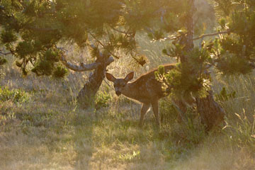 blog 135 Mendocino, Twin Deer babies, CA_DSC4810-6.24.16.jpg