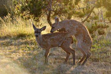 blog 135 Mendocino, Twin Deer babies, CA_DSC4826-6.24.16.jpg