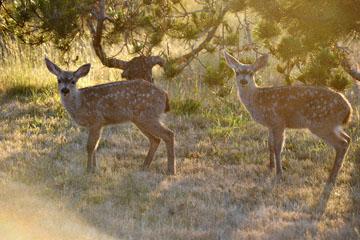 blog 135 Mendocino, Twin Deer babies, CA_DSC4824-6.24.16.jpg