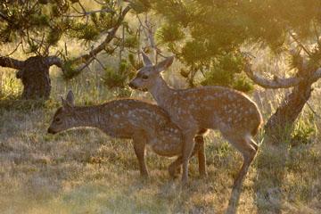 blog 135 Mendocino, Twin Deer babies, CA_DSC4823-6.24.16.jpg