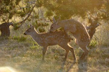 blog 135 Mendocino, Twin Deer babies, CA_DSC4819-6.24.16.jpg