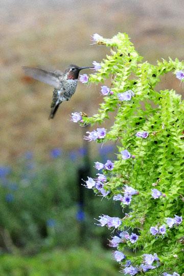blog 137 Mendocino, Humming Bird, CA_DSC5070-6.28.16.jpg