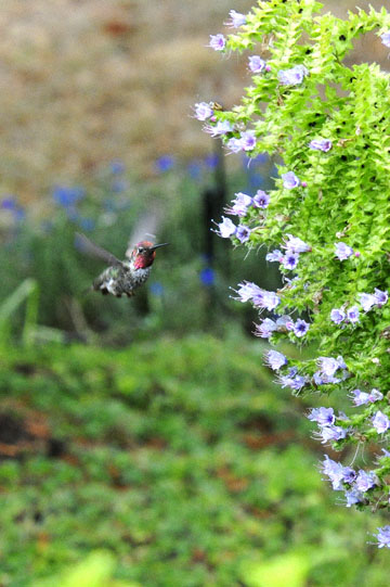 blog 137 Mendocino, Humming Bird, CA_DSC5069-6.28.16.jpg