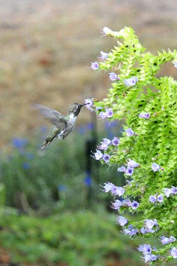 blog 137 Mendocino, Humming Bird, CA_DSC5067-6.28.16.jpg