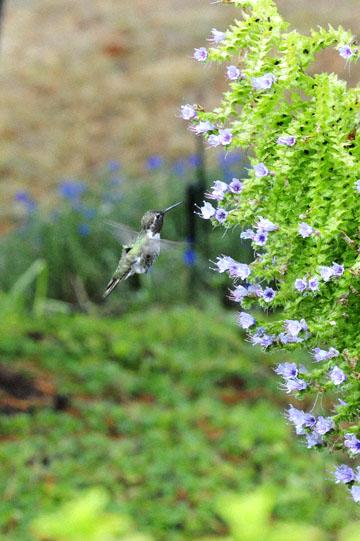 blog 137 Mendocino, Humming Bird, CA_DSC5068-6.28.16.jpg