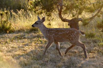blog 135 Mendocino, Twin Deer babies, CA_DSC4832-6.24.16.jpg
