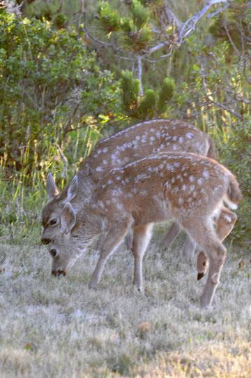 blog 135 Mendocino, Twin Deer babies, CA_DSC4835-6.24.16.jpg