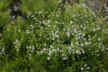 blog TAKE 95 Yellowstone NP, Aster Family, to the East Entrance_27139-8.5.07.jpg