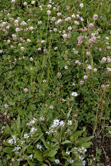 blog TAKE 95 Yellowstone NP, Aster & Clover Family, to the East Entrance_27135-8.5.07.jpg