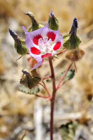 blog 5 Panamint Mountains, Desert Fivespot (Malvastrum rotundifolium), CA_DSC5530-4.2.16.jpg