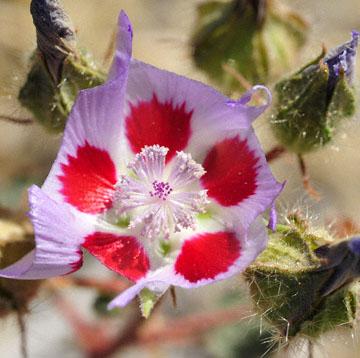 blog 5 (4x4) Panamint Mountains, Desert Fivespot (Malvastrum rotundifolium), CA_DSC5528-4.1.16.(2).jpg
