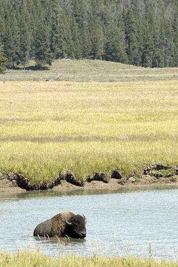 blog TAKE 96 Yellowstone NP, Buffalo, Pelican Creek 27218-8.6.07.jpg