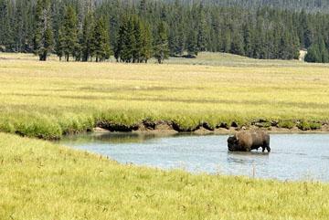 blog TAKE 96 Yellowstone NP, Buffalo, Pelican Creek 27214-8.6.07.jpg