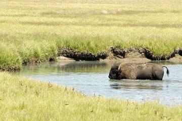 blog TAKE 96 Yellowstone NP, Buffalo, Pelican Creek 27215-8.6.07.jpg