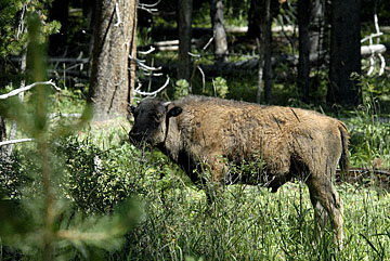 blog TAKE 96 Yellowstone NP, Buffalo Baby, Pelican Creek 27213-8.6.07.jpg