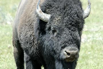 blog TAKE 96 Yellowstone NP, Buffalo, Pelican Creek 27276-8.6.07.jpg