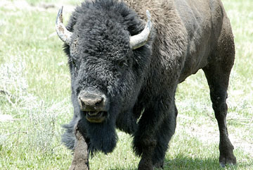 blog TAKE 96 Yellowstone NP, Buffalo, Pelican Creek 27273-8.6.07.jpg