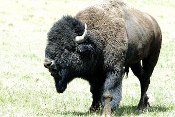 blog TAKE 96 Yellowstone NP, Buffalo, Pelican Creek 27270-8.6.07.jpg