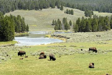 blog TAKE 96 Yellowstone NP, Buffalo, Pelican Creek 27283-8.6.07.jpg