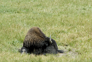 blog TAKE 96 Yellowstone NP, Buffalo, Pelican Creek 27296-8.6.07.jpg
