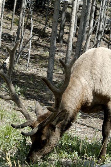 blog TAKE 96 Yellowstone NP, Elk, Hayden Valley 27311-8.6.07.jpg