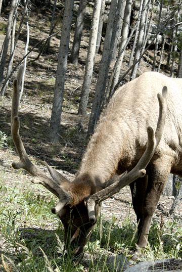 blog TAKE 96 Yellowstone NP, Elk, Hayden Valley 27310-8.6.07.jpg