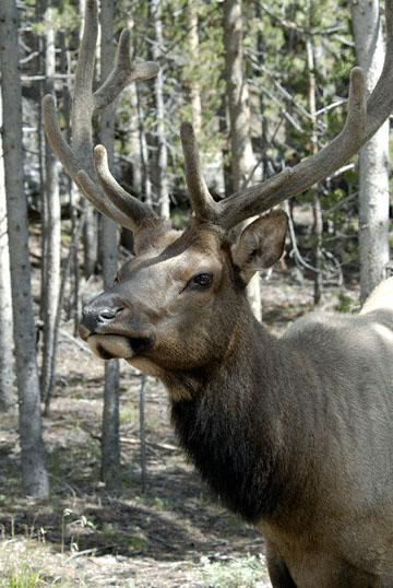 blog TAKE 97 Yellowstone NP, Elk, Hayden Valley 27322-8.6.07.jpg