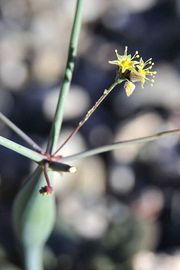 blog 4 Lone Pine, Alabama Hills, Desert Trumpet (Erigonum inflatum), CA_DSC1649-4.1.16.(2).jpg