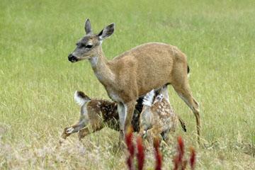 blog 135 Mendocino, Twin Deer babies nursing 2, CA_DSC4940-6.26.16.jpg