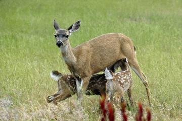 blog 135 Mendocino, Twin Deer babies nursing 2, CA_DSC4938-6.26.16.jpg