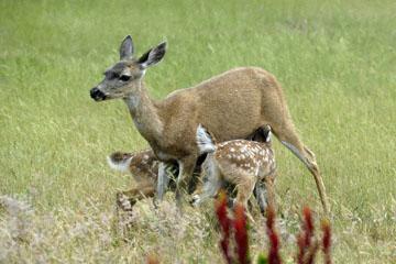 blog 135 Mendocino, Twin Deer babies nursing 2, CA_DSC4936-6.26.16.jpg