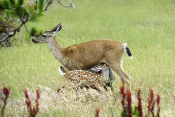 blog (6x4@300) 135 Mendocino, Twin Deer babies nursing, CA_DSC4933-6.26.16.jpg