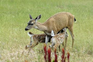 blog 135 Mendocino, Twin Deer babies nursing 2, CA_DSC4942-6.26.16.jpg