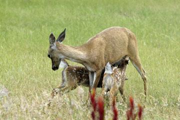 blog 135 Mendocino, Twin Deer babies nursing 2, CA_DSC4941-6.26.16.jpg