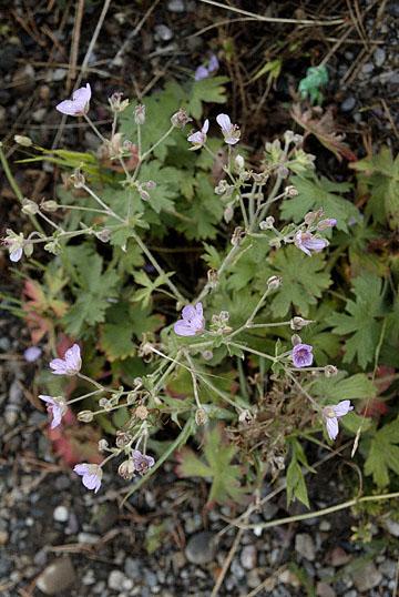 blog TAKE 98 Grand Teton, Geranium Family 27357-8.6.07.jpg