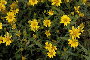 blog TAKE 98 Grand Teton, Sunflower Family 27369-8.6.07.jpg