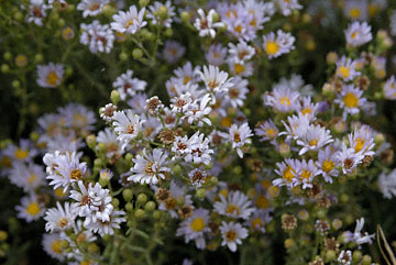 blog TAKE 98 Grand Teton, Aster Family 27370-8.6.07.jpg