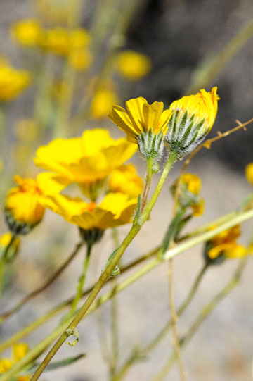 blog 5 Panamint Mountains, Desert Sunflower (), CA_DSC5542-4.2.16.jpg