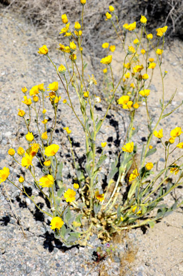 blog 5 Panamint Mountains, Desert Sunflower (), CA_DSC5538-4.2.16.jpg
