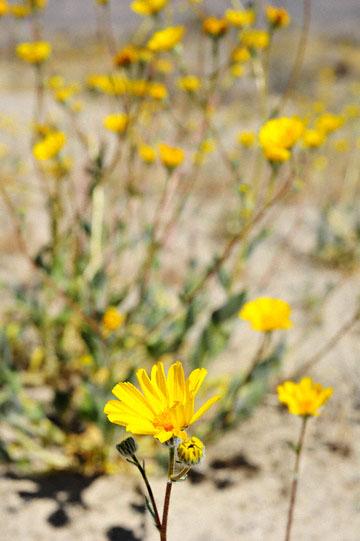 blog 5 Panamint Mountains, Desert Sunflower (), CA_DSC5553-4.2.16.jpg