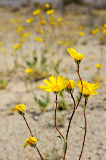 blog 5 Panamint Mountains, Desert Sunflower (), CA_DSC5550-4.2.16.jpg