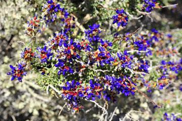 blog 5 Panamint Mountains, Indigo Bush (), CA_DSC5565-4.2.16.jpg